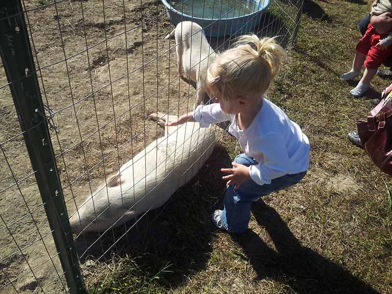 a little girl reaching through a fence to pet a pig