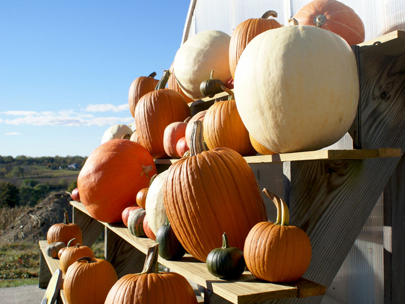 Multi-colored pumpkins on tiered shelves at a Clifton Park pumpkin patch