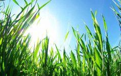 Sun in blue sky as seen through thick grass