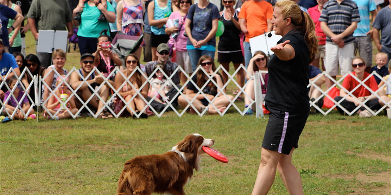 a woman putting on a dog show, a small collie has a Frisbee in its mouth, crowd is watching