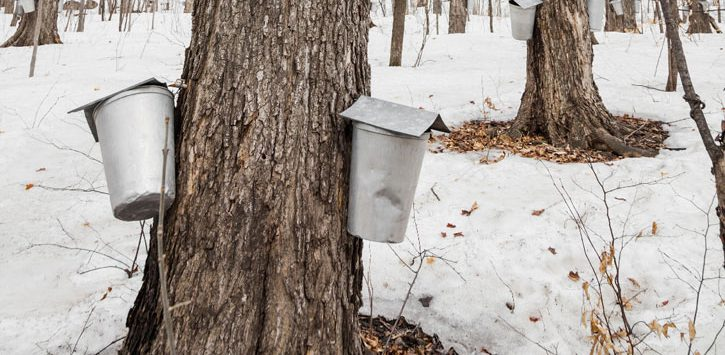 sap collection buckets on trees