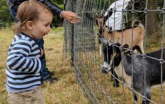 toddler excited to see goats