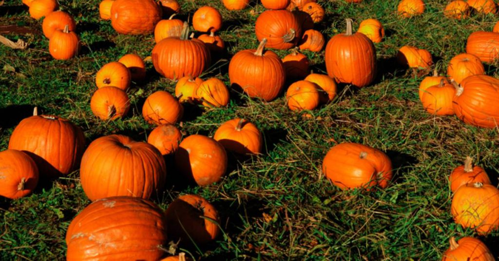 orange pumpkins on green lawn
