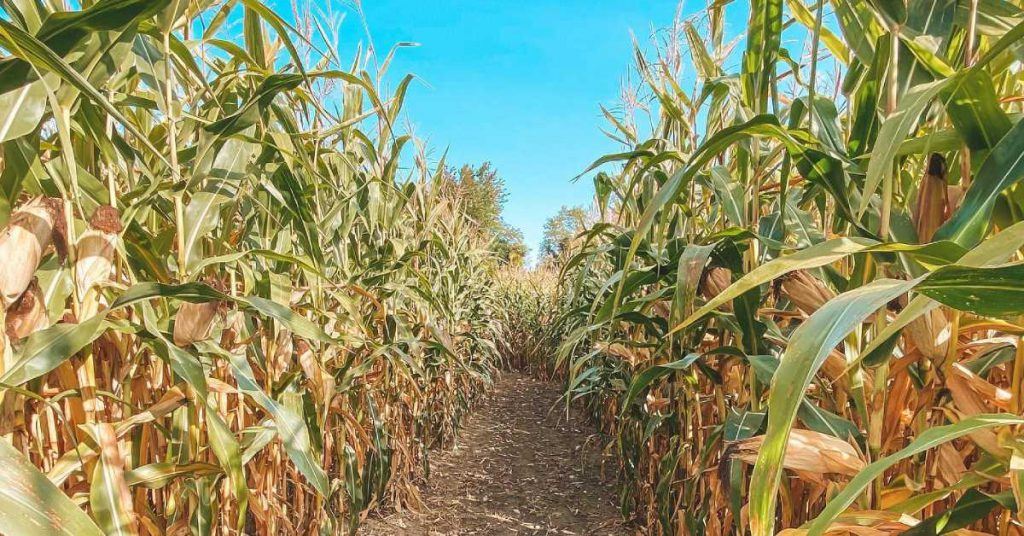 a path through a corn maze