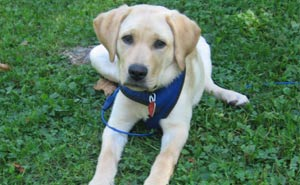 Yellow lab in blue harness laying on grass
