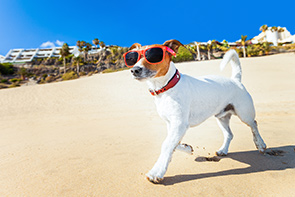 Jack russelle terrier wearing sunglasses whil walking on the beach