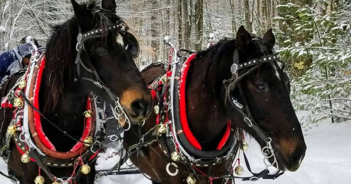 two dark horses pulling a sleigh